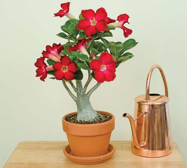 Gambar Cara Merawat Bunga Adenium Dalam Ruangan