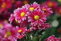 Gambar Cara Merawat Bunga Krisan Merah Muda yang Baik