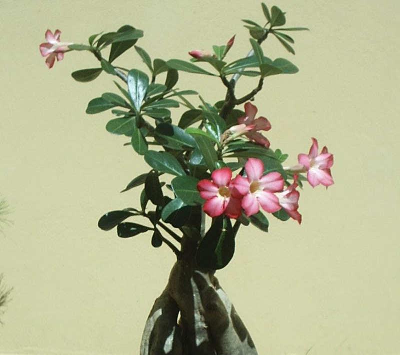 Gambar Belajar Cara Merawat Bunga Kamboja Jepang