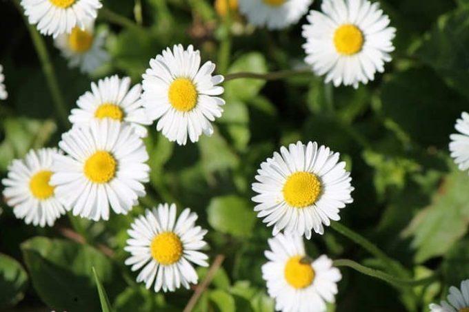 Gambar Cara Menanam Bunga Aster Putih