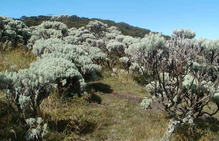 Gambar Cara Merawat Bunga Edelweiss Dari Gunung