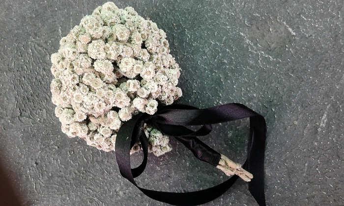 Gambar Cara Merawat Bunga Edelweiss Hias