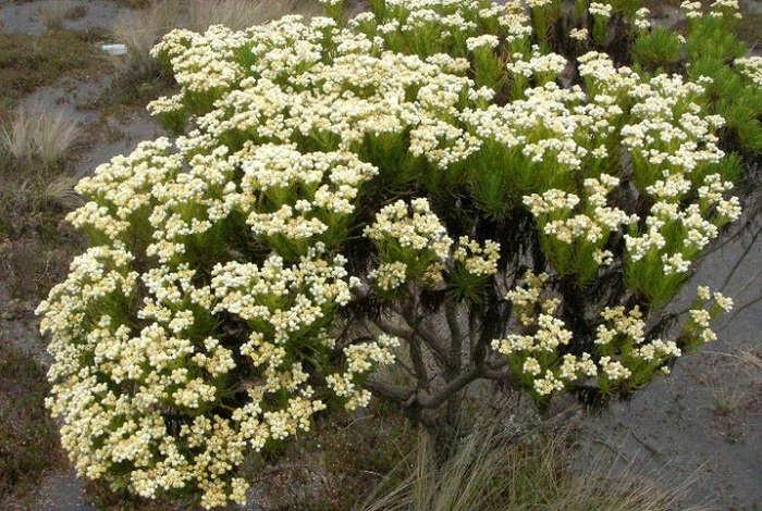 Gambar Cara Merawat Bunga Edelweiss