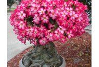 Gambar Cara Merawat Bunga Kamboja Jepang Adenium