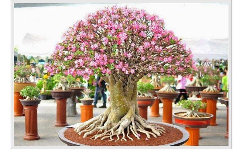 Gambar Cara Merawat Bunga Kamboja Jepang Hias