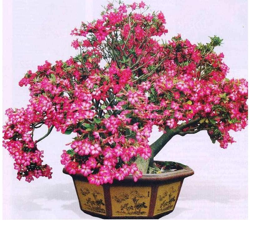 Gambar Cara Merawat Bunga Kamboja Jepang