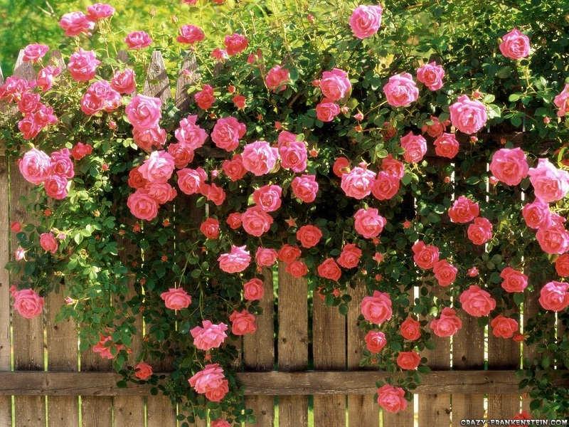 Gambar Cara Merawat Bunga Mawar Agar Berbunga Banyak