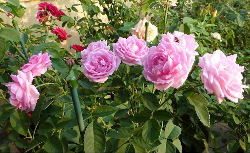 Gambar Cara Merawat Bunga Mawar Agar Rajin Berbunga