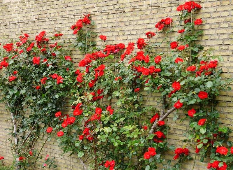 Gambar Cara Merawat Bunga Mawar Jambe