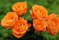 Gambar Cara Merawat Bunga Mawar Potong