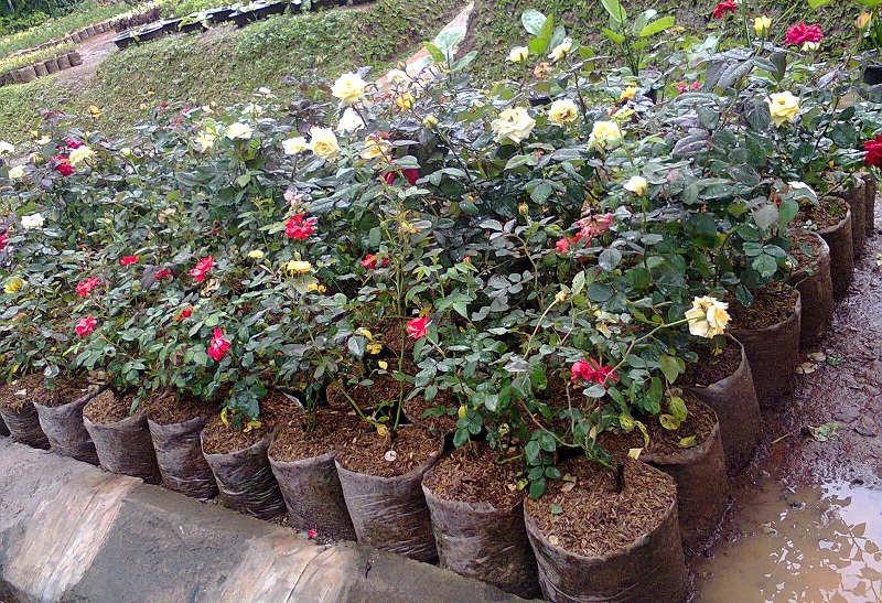 Gambar Cara Merawat Bunga Mawar Putih