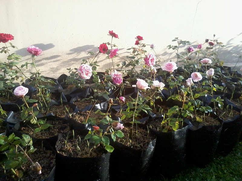 Gambar Cara Merawat Bunga Mawar Yang Benar
