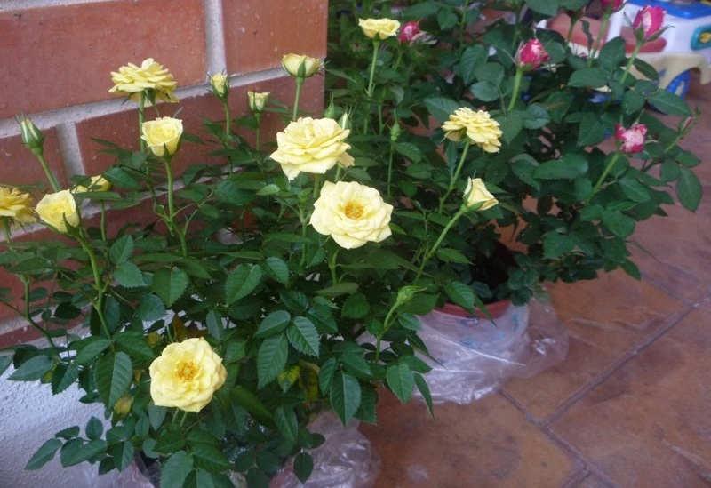GAmbar Cara Merawat Bunga Mawar
