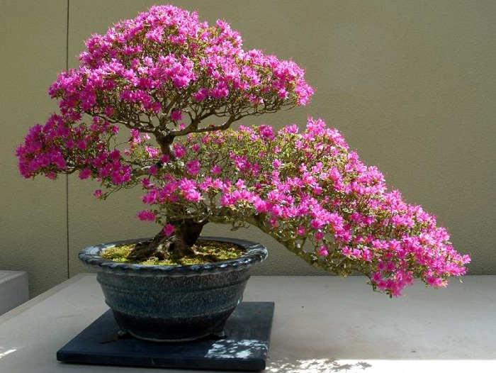 Gambar Cara Merawat Tanaman Bonsai Bunga Dalam Pot