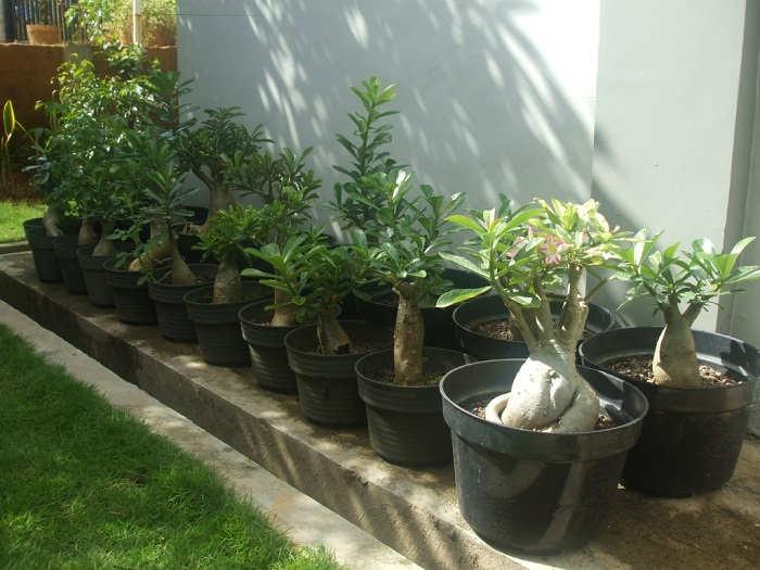 Gambar Cara Merawat Tanaman Bunga Kamboja Jepang Dalam Pot