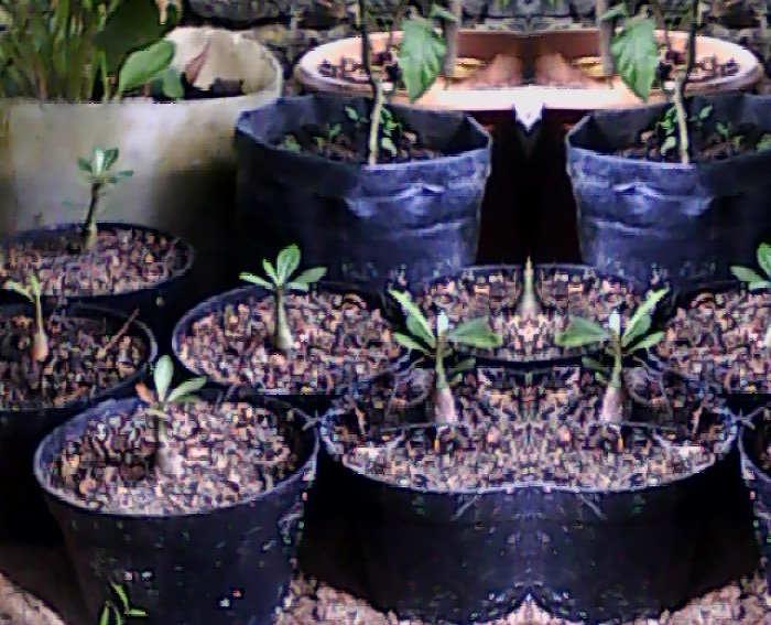 Gambar Cara Menanam Bunga Adenium Bibit