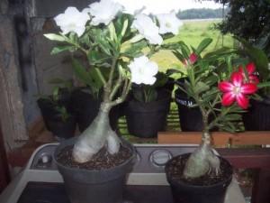Gambar Cara Menanam Bunga Adenium Bonsai