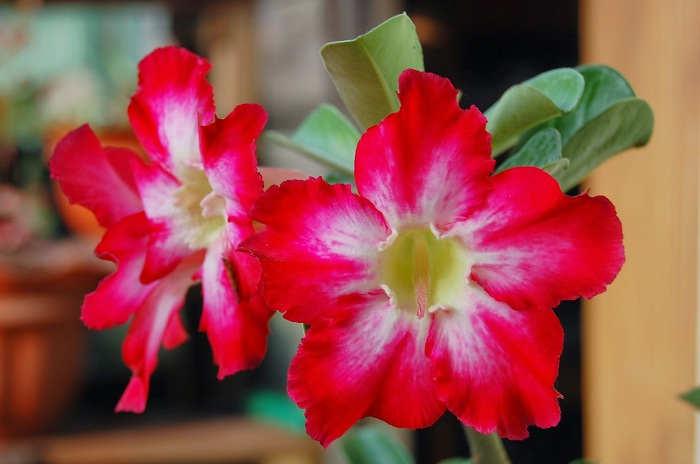 Gambar Cara Menanam Bunga Adenium di Rumah