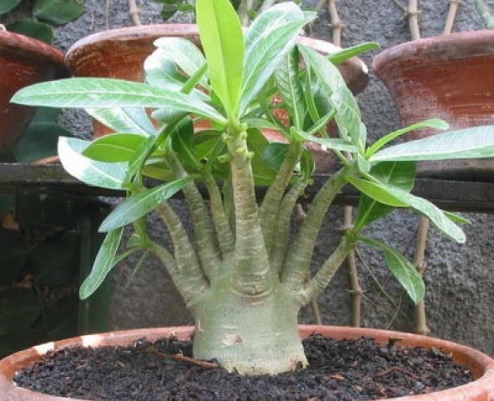 Gambar Cara Menanam Bunga Adenium