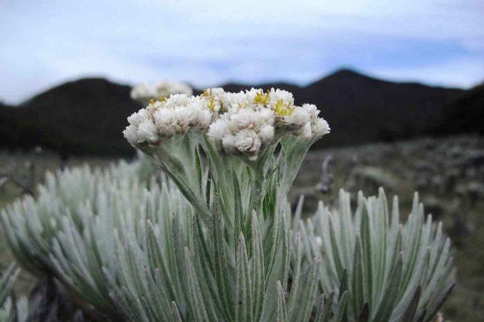 Gambar Cara Menanam Bunga Edelweiss