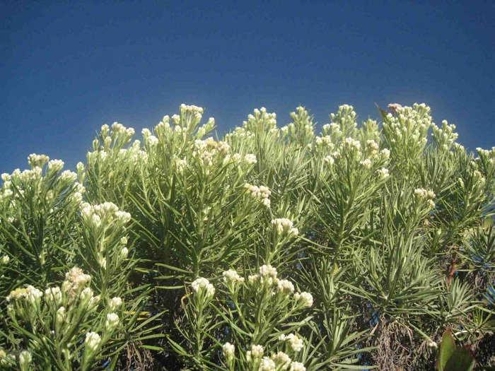 Gambar Cara Menanam Bunga Edelweiss Abadi