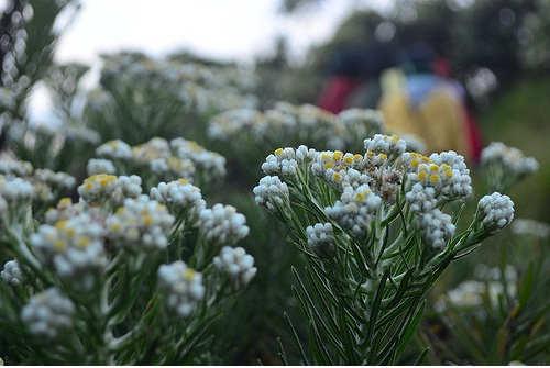 GAmbar Cara Menanam Bunga Edelweiss Mahameru