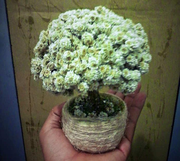 Gambar Cara Menanam Bunga Edelweiss Untuk Hiasan
