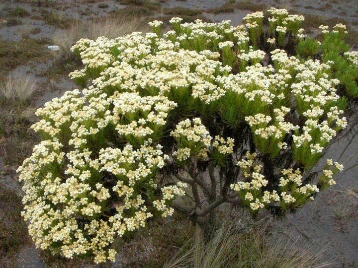 GAmbar Cara Menanam Bunga Edelweiss di Gunung Semeru