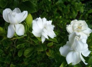 GAmbar Cara Menanam Bunga Gardenia Putih