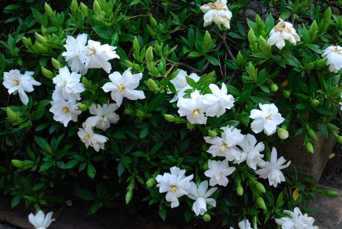 GAmbar Cara Menanam Bunga Gardenia Rumah