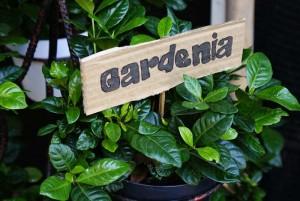 Gambar Cara Menanam Bunga Gardenia Sendiri dengan Mudah