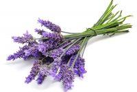 Gambar Cara Menanam Bunga Lavender