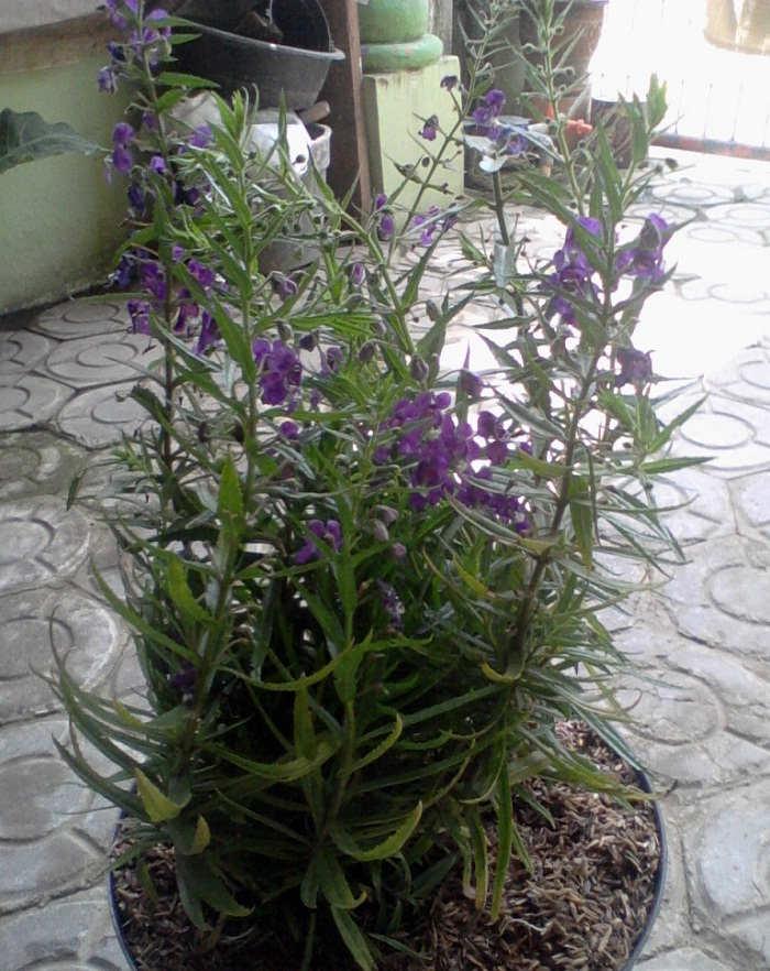 Gambar Cara Menanam Bunga Lavender Benih