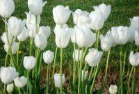 Gambar Cara Menanam Bunga Lili Putih