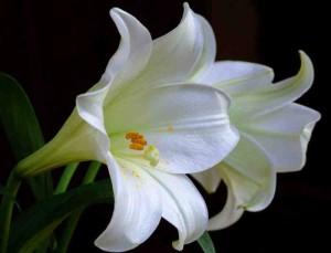 Gambar Cara Menanam Bunga Lili Putih di Taman