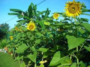 Gambar Cara Menanam Bunga Matahari di Halaman