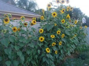 Gambar Cara Menanam Bunga Matahari di Kebun Rumah