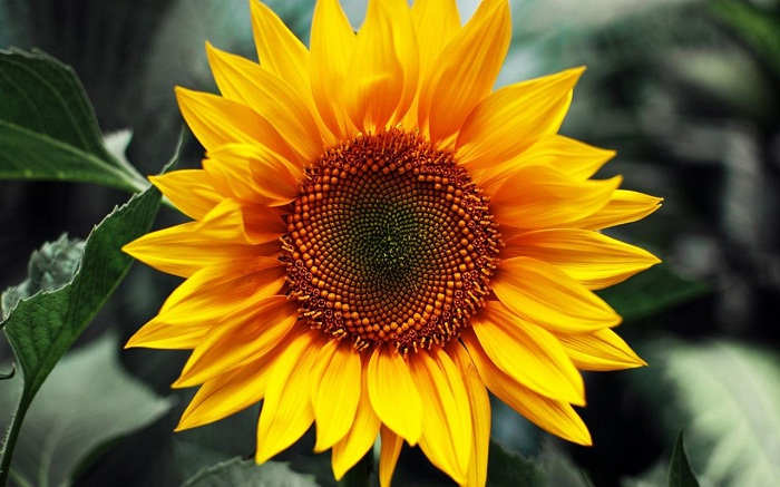 Manfaat Biji Bunga Matahari Untuk Melangsingkan Badan