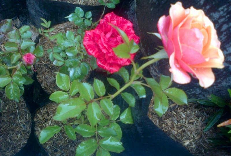 Gambar Cara Menanam Bunga Mawar Dengan Stek
