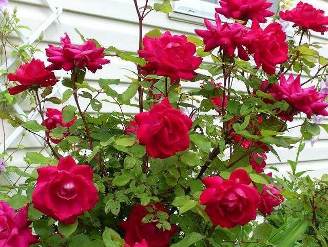 Gambar Cara Menanam Bunga Mawar Merah