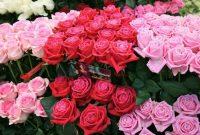 Gambar Cara Menanam Bunga Mawar Potong
