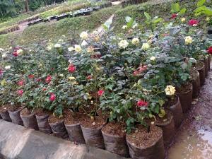 Gambar Cara Menanam Bunga Mawar dalam Polybag