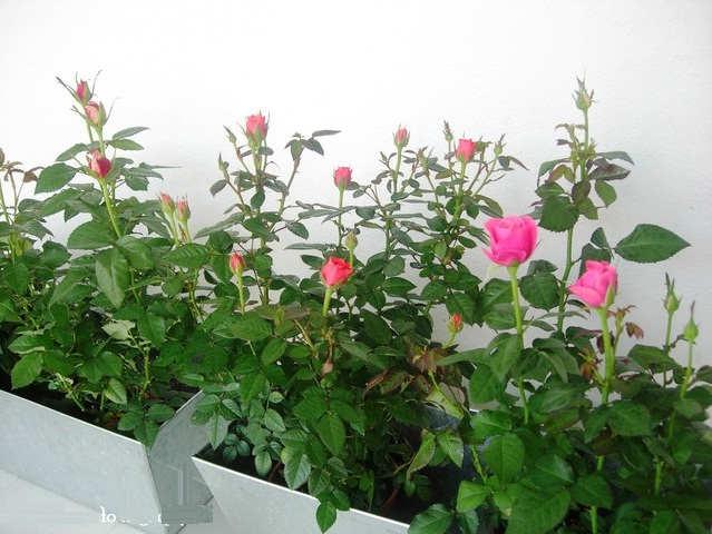 Gambar Cara Menanam Bunga Mawar dalam Pot