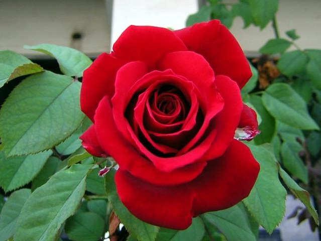 Gambar Cara Menanam Bunga Mawar di Rumah