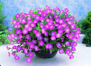 Gambar Cara Menanam Bunga Petunia Dalam Pot