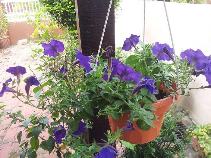 Gambar Cara Menanam Bunga Petunia di Rumah