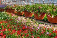 Gambar Cara Menanam Bunga Petunia untuk Budidaya