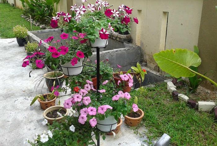 Gambar Cara Menanam Bunga Petunia