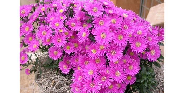 Gambar Cara Merawat Bunga Aster di Rumah
