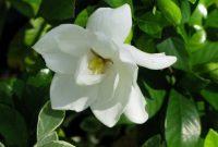 Gambar Cara Merawat Bunga Gardenia Putih